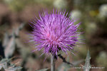 Yellow-spine Thistle
